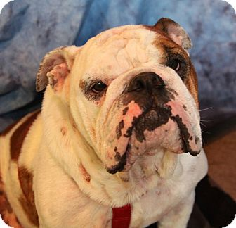 Bulldog Mix Dog for adoption in Chicago, Illinois - Angel