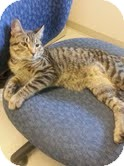 Domestic Shorthair Kitten for adoption in Madison, Wisconsin - LINK