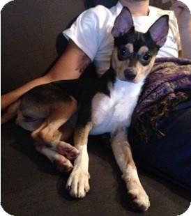 Manchester Terrier Mix Puppy for adoption in Hamilton, Ontario - Jackson