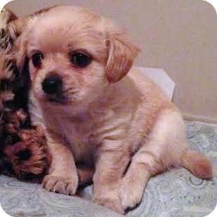 Maltese/Labrador Retriever Mix Puppy for adoption in Encino, California - Cupid - Valentina Pup