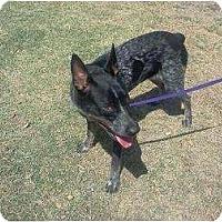 Adopt A Pet :: Scotty (adoption pending) - Phoenix, AZ