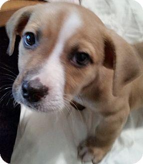 Beagle/Basset Hound Mix Puppy for adoption in Detroit, Michigan - Cody