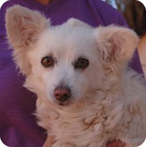 Pomeranian/Chihuahua Mix Dog for adoption in Las Vegas, Nevada - Kiana