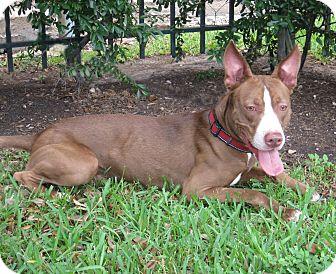 Terrier (Unknown Type, Medium) Mix Dog for adoption in Houston, Texas - Spaghetti O