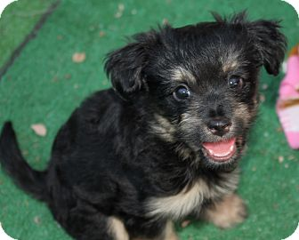 Labradoodle Puppy for adoption in Henderson, Nevada - Chloe