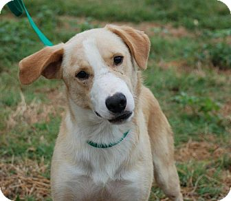 Labrador Retriever Mix Dog for adoption in Albany, New York - Gilbert