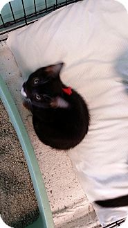 Domestic Shorthair Cat for adoption in Branson, Missouri - Dutchess
