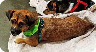 Dachshund Mix Dog for adoption in Alexis, North Carolina - Coco