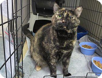 Domestic Shorthair Cat for adoption in Elizabeth City, North Carolina - Sheenah Coco