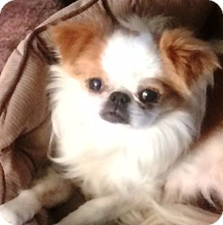 Japanese Chin Dog for adoption in Castro Valley, California - Empress