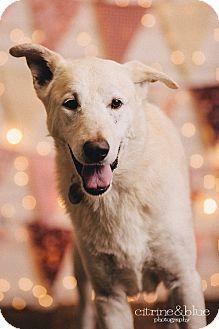German Shepherd Dog/Labrador Retriever Mix Dog for adoption in Portland, Oregon - Martin