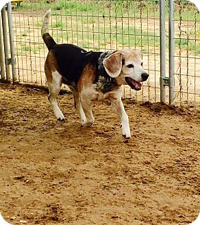 Beagle Dog for adoption in Woodward, Oklahoma - Bo (BOCEPHUS)