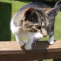 Domestic Shorthair Cat for adoption in Rustburg, Virginia - Nemo: Fostered