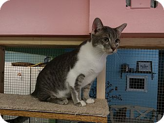 Domestic Shorthair Cat for adoption in Chisholm, Minnesota - Foster