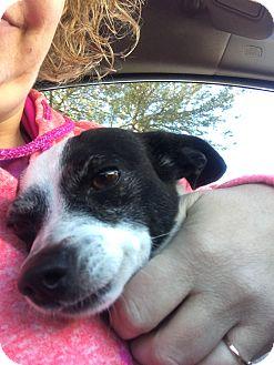 Rat Terrier Mix Dog for adoption in Las Vegas, Nevada - Stefie