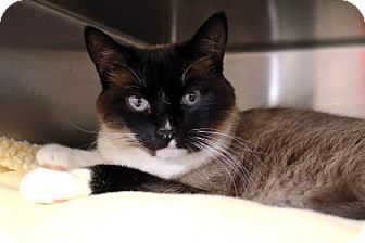 Domestic Shorthair Cat for adoption in Bellevue, Washington - Kitty Bug