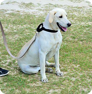 Labrador Retriever Mix Dog for adoption in Hazlehurst, Georgia - Olivia