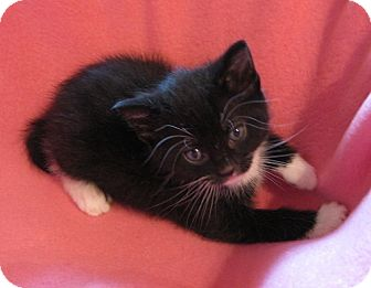 Domestic Shorthair Kitten for adoption in Fenton, Missouri - Jenga