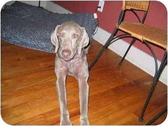 Weimaraner Dog for adoption in Eustis, Florida - Weiser   **ADOPTED**