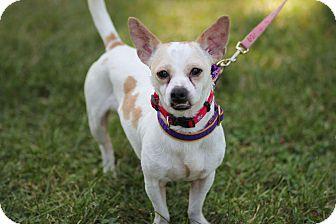 Chihuahua Mix Dog for adoption in Midland, Michigan - Bear Bear