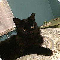 Domestic Mediumhair Cat for adoption in Hazlet, New Jersey - Delilah