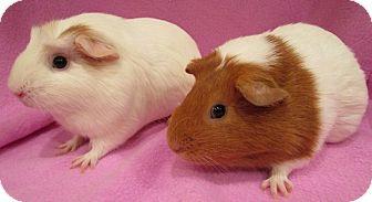 Guinea Pig for adoption in Highland, Indiana - Smoochums