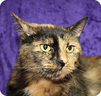 Domestic Shorthair Cat for adoption in Jackson, Michigan - Tazo