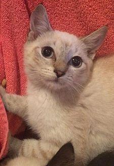 Siamese Cat for adoption in Boynton Beach, Florida - Blondie