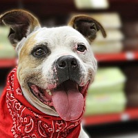 Bulldog/Staffordshire Bull Terrier Mix Dog for adoption in Odessa, Florida - Patty