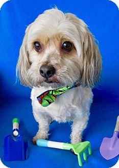 Yorkie, Yorkshire Terrier/Maltese Mix Dog for adoption in Irvine, California - Milo