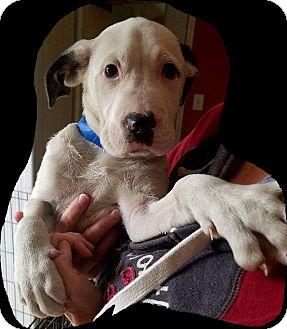 American Bulldog/Pointer Mix Puppy for adoption in Hammonton, New Jersey - Chaplin