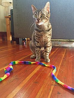 Domestic Shorthair Cat for adoption in Montclair, California - Venus