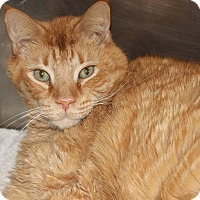Domestic Shorthair Cat for adoption in Clayton, New Jersey - CREAMSICLE