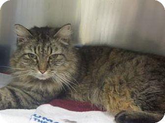 Domestic Mediumhair Cat for adoption in Wildomar, California - Maxie