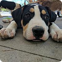 Adopt A Pet :: Elmo - Las Vegas, NV