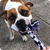 American Bulldog/St. Bernard Mix Dog for adoption in Pinellas Park, Florida - DJ