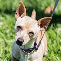 Adopt A Pet :: Chip - 27838 - Petaluma, CA