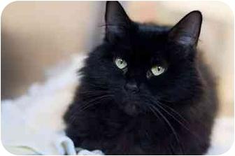 Domestic Mediumhair Cat for adoption in Westbrook, Maine - Dora