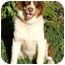Photo 2 - Australian Shepherd Dog for adoption in Orlando, Florida - Ben