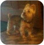 Yorkie, Yorkshire Terrier Dog for adoption in Allentown, Pennsylvania - Ponti