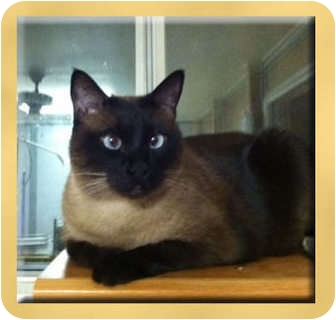 Siamese Cat for adoption in Scottsdale, Arizona - MoMo