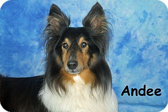 Sheltie, Shetland Sheepdog Dog for adoption in Ft. Myers, Florida - Andee
