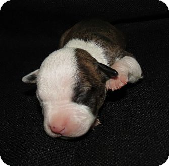 American Pit Bull Terrier Puppy for adoption in Middleburg, Florida - Clarice