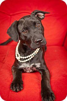 Labrador Retriever Mix Puppy for adoption in Nashville, Tennessee - Annie Sue