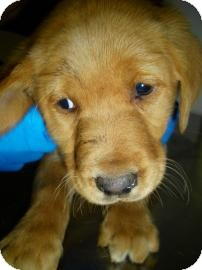 Golden Retriever/Shepherd (Unknown Type) Mix Puppy for adoption in Lincolnton, North Carolina - Gold ret mix pup