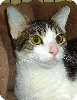 Domestic Shorthair Cat for adoption in Carmel, New York - Erika