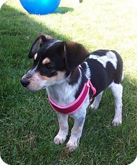 Beagle Mix Puppy for adoption in Hainesville, Illinois - Phoebe