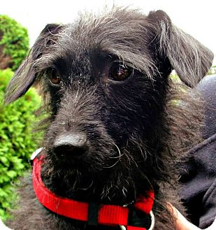 Terrier (Unknown Type, Small) Mix Dog for adoption in Manchester, Connecticut - Claire