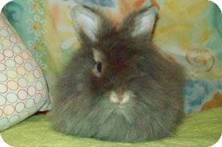 Lionhead Mix for adoption in Woburn, Massachusetts - Lark