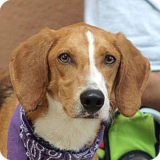 Collie/Hound (Unknown Type) Mix Dog for adoption in Fairfax, Virginia - Seymour *Adopt or Foster*